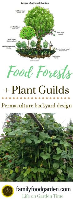 Food Forest Gardens & Plant Guilds in Permaculture Design. Learn how to create plant guilds in your own backyard with permaculture design examples. Learn the 7 layer food forest and how to add polyculture examples to your permaculture garden. Growing a food forest garden is rewarding, here are some FREE permaculture