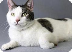 Blackwood, NJ - Domestic Shorthair. Meet Rye, a cat for adoption. http://www.adoptapet.com/pet/17390312-blackwood-new-jersey-cat