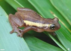 Just described to science in 2007, Raorchestes ochlandrae (Rhacophoridae) is a species of shrub frog only known from the Western Ghats (India).