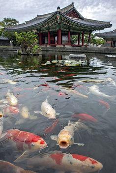 grande famille de carpe koi dans un bassin japonais