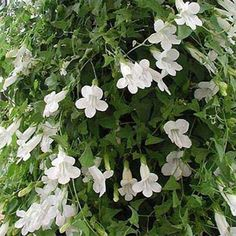 Asarina Seeds - WHITE Snapdragon Vine, also known as twining or Climbing Snapdragon Perennial Vine.
