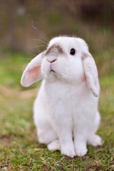 In the event you are searching for a furry companion that is not only cute, but very easy to keep, then look no further than a family pet bunny. Cute Little Animals, Cute Funny Animals, Cute Dogs, Cute Bunny Pictures, Cute Baby Bunnies, Lop Bunnies, Pet Rabbit, Cute Creatures, Animals Beautiful