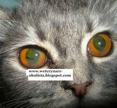 Zapalenie przedniego odcinka błony naczyniowej u kotów. ~ Okulistyka Zwierząt- uveitis in cats