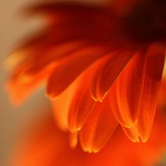 """Orange Petals"" taken in  *Brisbane, Australia*  [Photo by nomadic tendencies (Project 365)]  'h4d' 120814 중국바카라 CTG414.CO.NR MGM바카라 JX1100.COM MGM바카라 중국바카라 MGM바카라 중국바카라 MGM바카라 중국바카라"