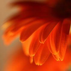 Orange Petals taken in Brisbane Australia [Photo by nomadic tendencies (Project 120814 The post appeared first on Easy flowers. Colorful Roses, Orange Flowers, Orange Color, Colorful Candy, Rose Flowers, Calendula, Foto Macro, Foto Fantasy, Fleur Orange