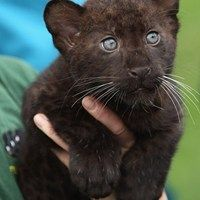 Panther Cub -- Daily Squee