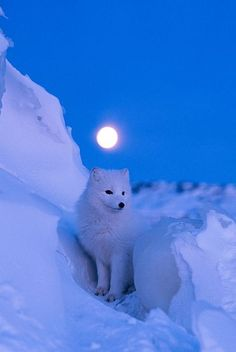 Before dawn, a brilliant full moon illuminates the snowy landscape of Churchill, Manitoba, Canada, home to an arctic fox. The fox's coat changes color with the seasons; as the snow melts it begins to turn grayish brown. Animals And Pets, Baby Animals, Cute Animals, Beautiful Creatures, Animals Beautiful, Arctic Fox, White Fox, Tier Fotos, Wild Dogs