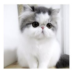 Beautiful little Persian kitten