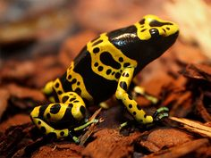 Yellow-banded Poison Dart Frog Reptile Rescue d62e77d785d8