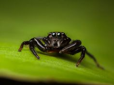 Salticidae - Thiania bhamoensis (female)