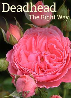 your roses correctly to increase the number of blooms and overall plant health.Deadhead your roses correctly to increase the number of blooms and overall plant health. Rose Plant Care, Rose Care, Rose Bush Care, Comment Planter Des Roses, Deadheading Roses, Pruning Roses, Pruning Plants, Rose Garden Design, Gardens