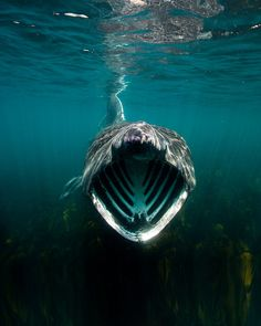 The mouth of a basking shark by KirkMottershead, via Flickr