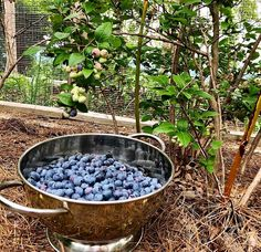 Here's another happy customer who has been growing her own #organic blueberries now for the past couple years. Instead of paying big money for those tiny little half-pints of organic #blueberries at the supermarket, she grows her own Non-GMO, heirloom  #berries for free, right in her own backyard. You can do the same with our ultra-heavy bearing #blueberry bushes for only $10 each.