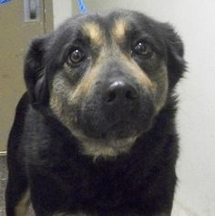 LOGAN, OH - SUPER URGENT! It only takes 1 click to share and this guy needs it. Rural shelter has no petfinder website! The animals here depend on networking and volunteers ! BEAR - COLLIE SHEPHERD MIX - HOCKING COUNTY DOG SHELTER:  Logan, OH~LW  Bear has been at the shelter the longest. No owners have come for him & no one has shown adoption interest. V SWEET!  ****CONTACT: beougher76@yahoo.com