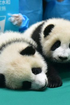 Baby Panda Kindergarten Is A Thing, And Its The Cutest