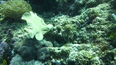 Video Giant Frogfish   Pata Negra Dive Center Panglao Bohol, Beach Club, Scuba Diving, Island, Diving, Islands