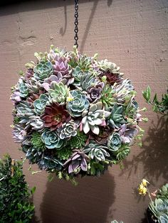 Make a Hanging Succulent Ball with the succulents you'll find at our garden center! Hanging Succulents, Succulent Arrangements, Cacti And Succulents, Hanging Plants, Succulent Gardening, Garden Planters, Container Gardening, Organic Gardening, Vertical Succulent Gardens
