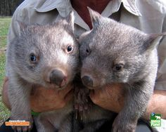 wombat | Wombat Hd Wallpaper | Animal Wallpapers