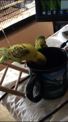 Check out out Susan's \\\\Budgie birdie community. \\\\ Love the setup! Budgie Parakeet, Parakeets, Bird Pictures, Cute Pictures, Australian Parrots, Animal Antics, Cute Birds, Beautiful Birds, Cute Animals