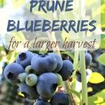 Want a larger harvest of blueberries? Learn how to prune blueberry plants for a larger harvest. Great step by step tutorial, plus love her tips for what to add to the soil. If you want to put in blueberries or already have them, you need to read this tutorial now.