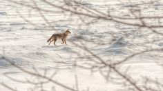 Coywolves: Coyote & Wolf hybrids in Michigan