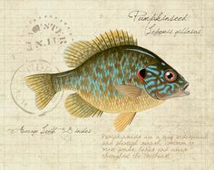 Pumpkinseed Sunfish - natural range extends from New Brunswick south to Georgia and westward to the upper Mississippi basin. (Print by mpattersonart, via Etsy)