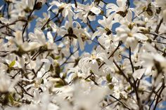 """star magnolia,"" by The New York Botanical Garden, via Flickr -- Magnoila stellata"