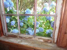 Hydrangeas at an old window