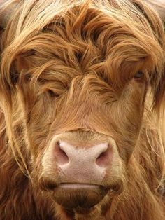 Photo about Curious highland cow stares at camera. Image of hairy, cattle, face - 1085877 Cute Creatures, Beautiful Creatures, Animals Beautiful, Scottish Highland Cow, Highland Cattle, Scottish Highlands, Farm Animals, Animals And Pets, Cute Animals