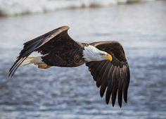 Mississippi River Bald Eagle in Flight