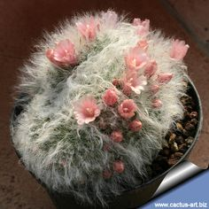 Mammillaria bocasana var. multilanata forma cristata