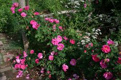 Gallica officinalis, the Apothecary's Rose, and ancient rose species with culinary and medicinal uses