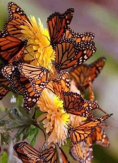 Types of Butterflies - Butterflies are one of the most adored insects for their enchanted beauty and representation of good luck and positive change. Types Of Butterflies, Butterflies Flying, Beautiful Butterflies, Pretty Flowers, Yellow Flowers, Butterfly Kisses, Butterfly Flowers, Monarch Butterfly, Butterfly Pictures