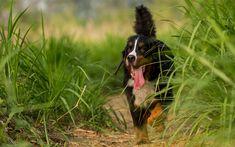 Download wallpapers 4k, Berner Sennenhund, bushes, pets, cute animals, Bernese Mountain Dog, dogs, Berner Sennenhund Dog