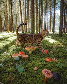Excellent Screen Bengal Cats suki Style when it comes to just what exactly serves as a Bengal cat. Bengal pet cats are a pedigree type in which o. Baby Animals, Cute Animals, Pretty Animals, Funny Animals, Adventure Cat, Nature Aesthetic, Music Aesthetic, Cat Memes, Beautiful Creatures