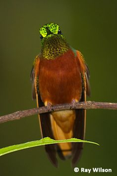 Chestnut-breasted Coronet. Ecuador : Tapichalaca by http://www.raywilsonbirdphotography.co.uk/