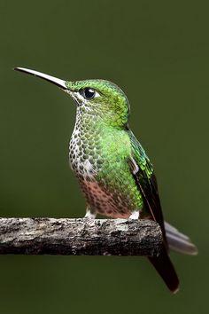 Green-Crowned Brilliant Hummingbird (Heliodoxa jacula) Costa Rica