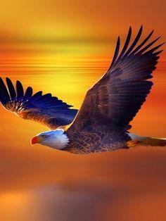 pictures of eagle flying Flying Eagle Wallpaper