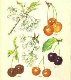 Dänisch Antique Botanical Image Kirschen auf der von PaperSymphony, $4.00