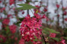 Roze bloesem struik 02