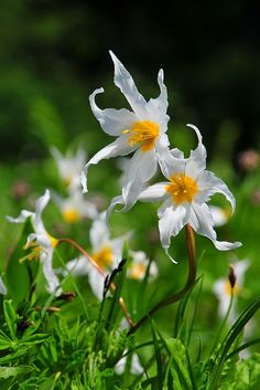 White Avalanche Lilies,  Mount Rainier National Park, Washington
