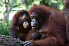 You can find FREE science worksheet on Orangutans here: http://easyscienceforkids.com/orangutans-worksheet-free-to-download-printable-hidden-words-puzzle-game-for-kids/
