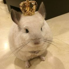 And while you're a firm believer in democracy, you would have no problem at all bowing beneath the adorable rule of Queen Bubu the chinchilla. Animals And Pets, Baby Animals, Cute Animals, Guinea Pig Toys, Guinea Pigs, Chinchillas, Chinchilla Cute, Yorkshire, Buzzfeed Animals
