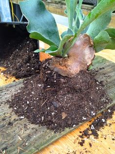 How to mount a Staghorn Fern -