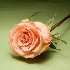 Rio Roses: Cinnamon