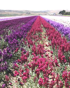 amazingly beautiful flower fields in lompoc california