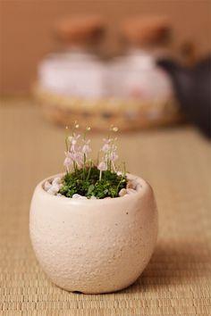ウサギ苔盆栽 瀬戸焼白鉢の苔盆栽  うさぎの花が咲きます!可愛いプレゼントにも最適 うさぎ 苔 border= - http://item.rakuten.co.jp/nakamurabonsai/b00506/