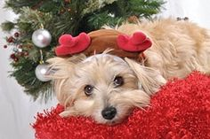 Holiday Safety Tips from ASPCA.   Beware of plants!! It's not just poinsettias....Holly can cause nausea & diarrhea, Mistletoe can cause cardiovascular problems, and many types of lilies can cause kidney failure in cats!