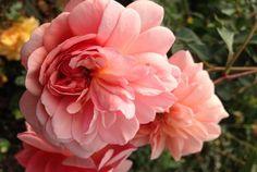 冬冬玫瑰網-商品詳情-玫瑰花園