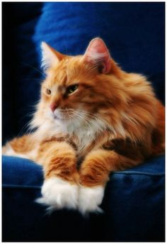 Maine Coon Cat Looks very much like one we had RIP Henry